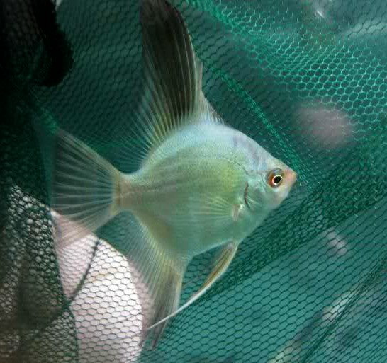 Angelfish - Pinoy Solid Green - Medium - Quantity of 5