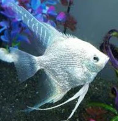 Angelfish - Platinum - Large