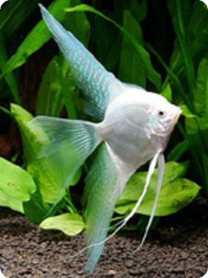Angelfish - Platinum - Medium - Quantity of 5
