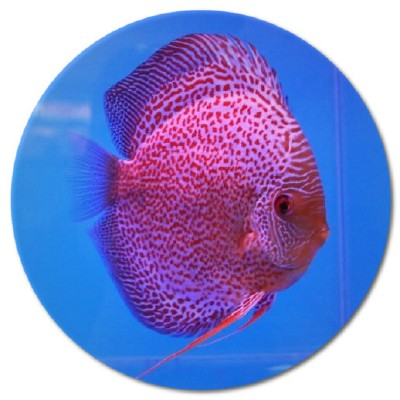 Purple Leopard Discus Fish 2-3 inch