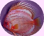 Purple Iridescent Discus Fish 2-3 inch