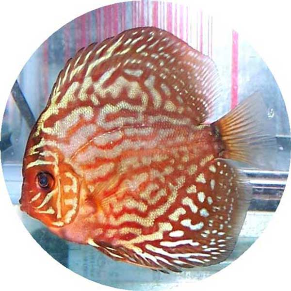 Red Royal Blue Discus Fish - 2 inch