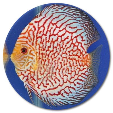 Red Stripe White Dragon Discus Fish 2-3 inch
