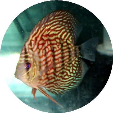 Red Turquoise Discus Fish 2 inch