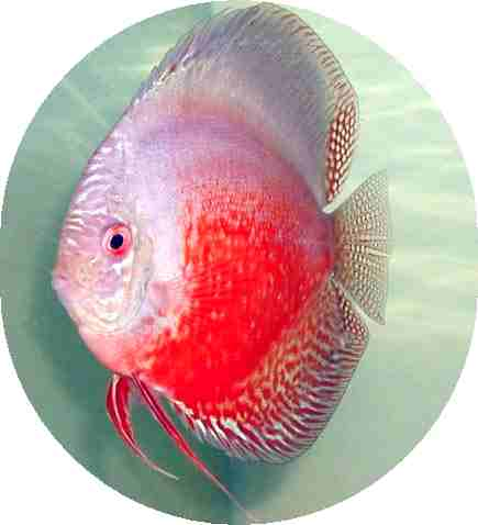 Red White Discus Fish 2 inch