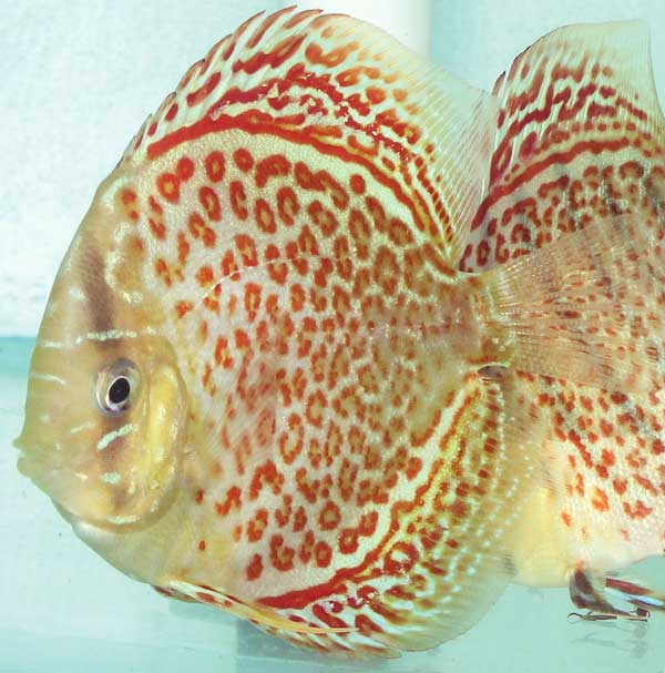 Ring Leopard Discus Fish 2-3 inch