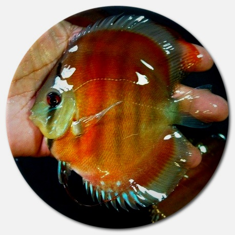 Red Alenquer Discus Fish - 2.5 inch - PACK OF FIVE