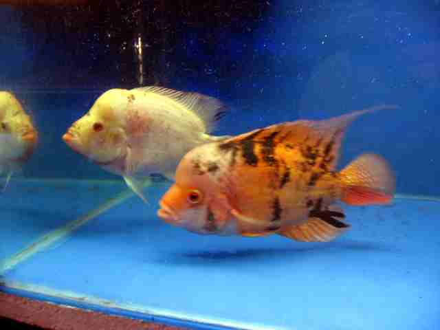 Assorted 2-3 inch Flowerhorn