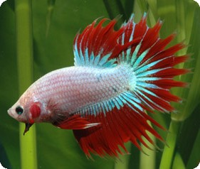 Crown Tail Male Betta - 2 inch