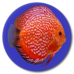 Red Stone Dragon Discus Fish - 3 inch