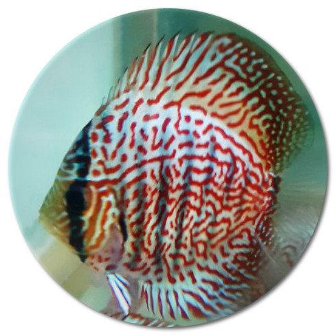 Red Eagle Discus Fish  2.25-3 inch