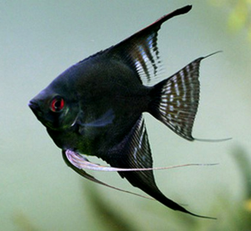 **BLACK FRIDAY SPECIAL**Red Eye Double Black Angelfish - Large