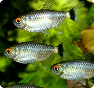 RED EYE TETRA - QUANTITY OF 12
