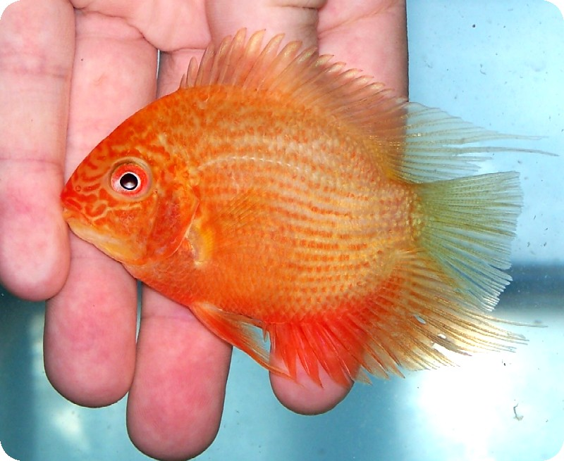 Severum - Red Faced Golden 1-2 inch