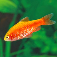 Red Glass Barb - Quantity of 3