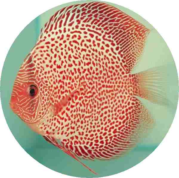 Red Leopard Discus Fish 2 inch