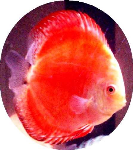 Super Red Marlboro Discus Fish - 3 Inch