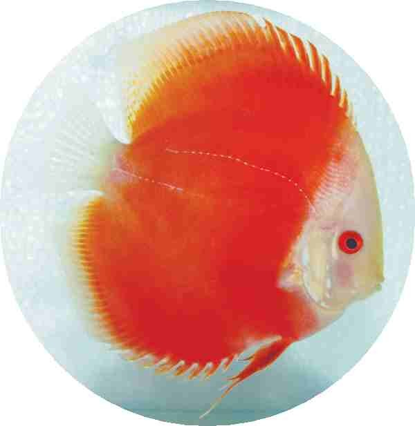 Red Melon Discus Fish 2 inch