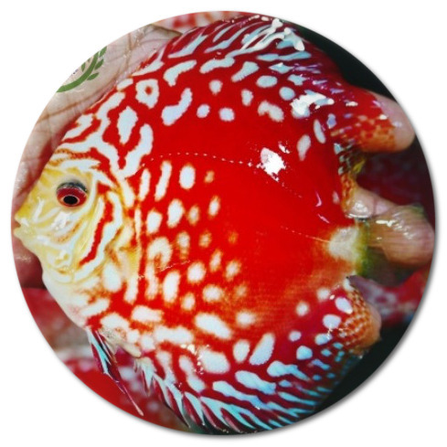 Red Panda Discus Fish - 2.5 inch
