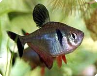 PHANTOM RED TETRA - QUANTITY OF 6