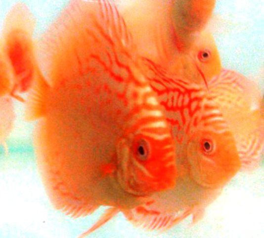 Albino Golden Red Dragon Discus Fish - 2-3 inch