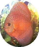 Red Snakeskin Discus Fish 2 inch