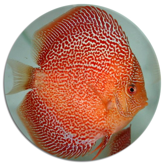 Red Leopard Spider Discus Fish 2-3 inch