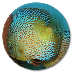 Red Spot Green Leopard Discus Fish - 2-3 inch