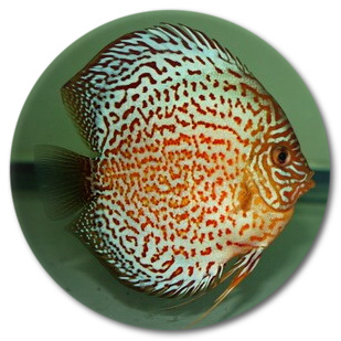 Red Leopard Discus Fish - 2.5 inch