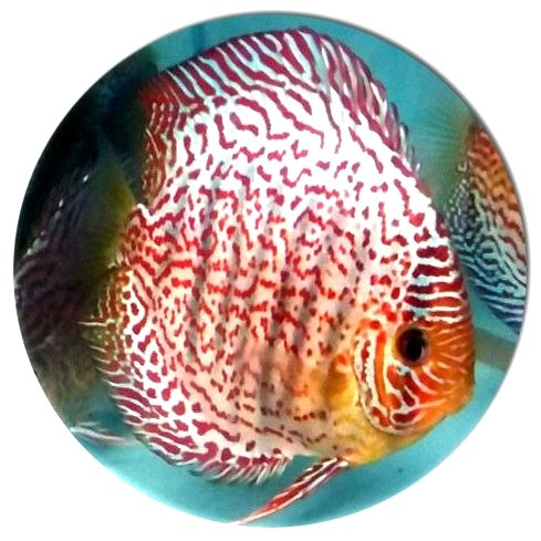 Red Tiger Mosaic Discus Fish 2 inch