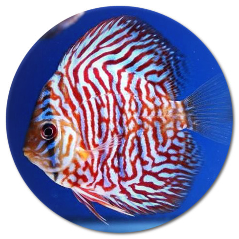 Red Tiger Turquoise Discus Fish 2-3 inch