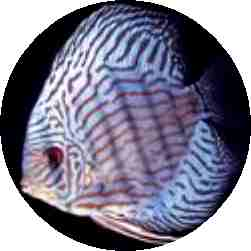 Royal Blue Tiger Discus Fish 3.5 Inch