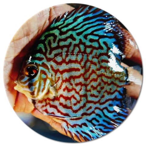 Royal Purple Discus Fish 2.5 Inch