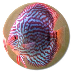 Royal Purple Discus Fish 2-3 Inch - LIMIT 5