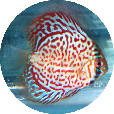 Ruby Red Confetti Discus Fish 2-3 inch