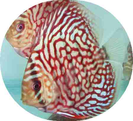 Ruby Red Mosaic Discus Fish - 2-3 inch