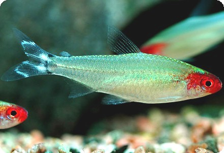 RUMMY NOSE TETRA - QUANTITY OF 12
