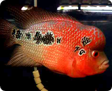 Flowerhorn - Showcase Red Cherry - 2-3 Inch