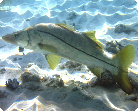 SNOOK - 2 INCH