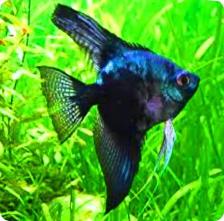 Angelfish - SP Black and Blue - Medium