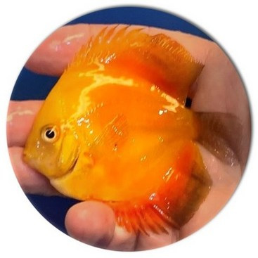 Sunburst Discus Fish - 3 inch