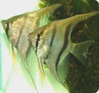 Angelfish - Peruvian Wild Caught Scalare - Large