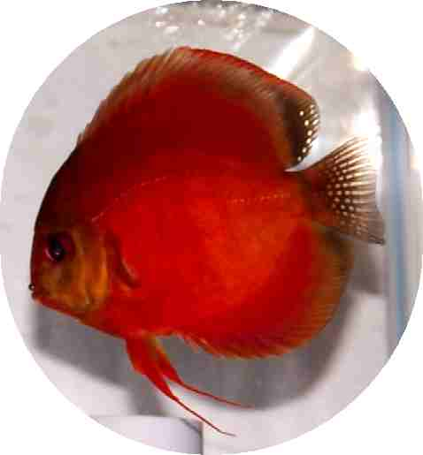 Siam Red Master Discus Fish - 2 inch