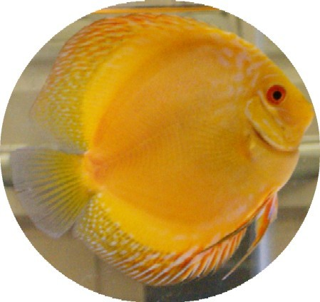 Siam Yellow Master Discus Fish - 2 inch