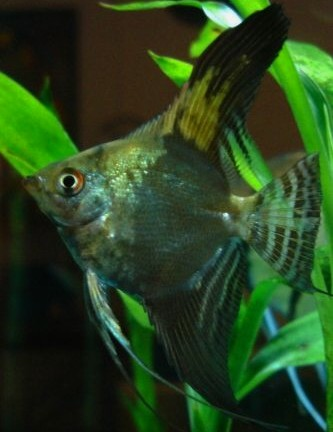 Angelfish - California Green Smokey Half Black Leopard - Medium