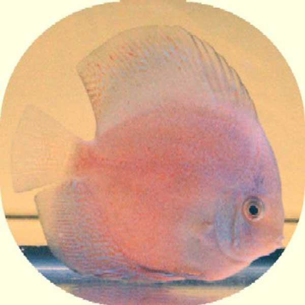 Mother of Pearl Ghost Discus Fish - 3 inch