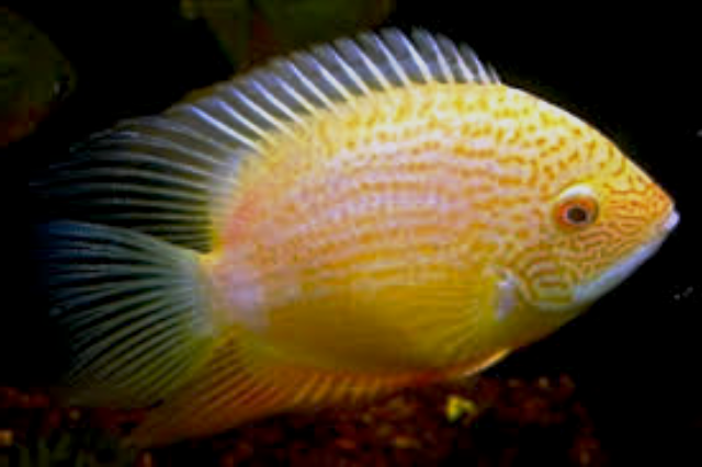 Severum - Gold Spotted - 2 Inch