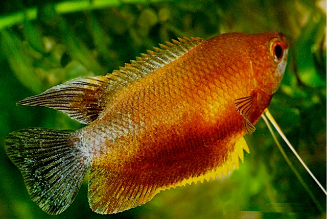 Sunset Thicklip Gourami - Quantity of 3
