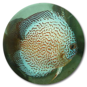 Super Blue Spider Discus Fish - 2 inch