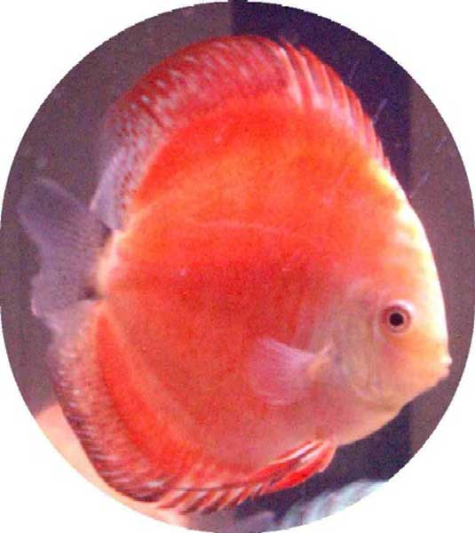 Discus Fish Fast Shipping High Quality Low Pricing
